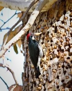 bigstock-Acorn-Woodpecker-29629676