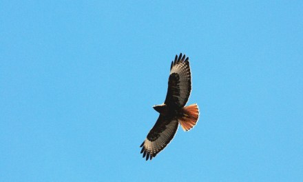 Three Local Hawks