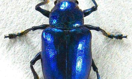 Bug Wild-The Cobalt Milkweed Beetle