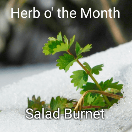 Herb o' the Month: My Preeeeciouuuus Carol Salad Burnet