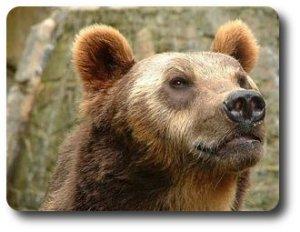 Orso-bruno-alpino-ursus-arctos-arctos