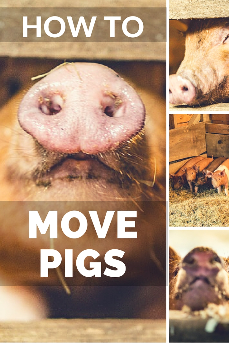 How To Move Pigs