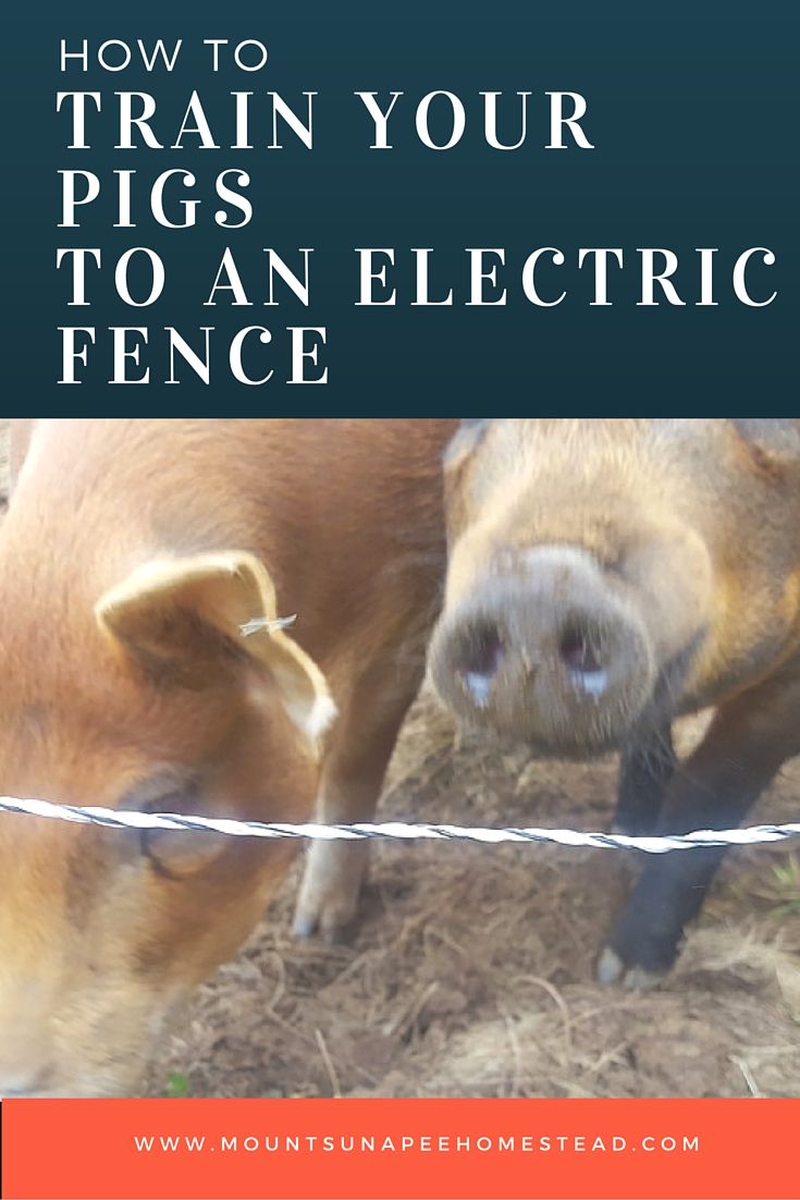 How To Train Your Pigs to An Electric Fence