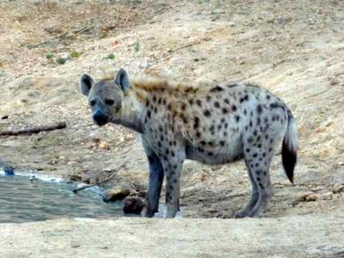 Hyenas Around Water Hole