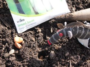 Bernard pushes a broad bean seed into a hole dibbed into the soil