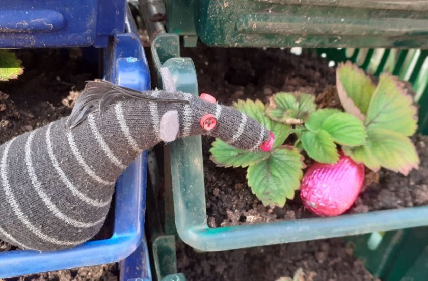 Bernard looks at a pink egg among the leaves of a strawberry plant