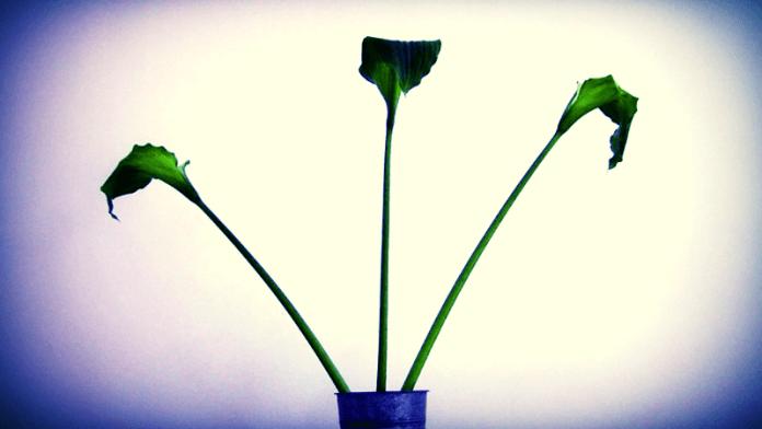 Er worden nu al bloemen gekweekt, die zó volmaakt zijn dat ze wel van plastic lijken! Pol Vanhaverbeke