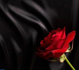 rose_on_silk