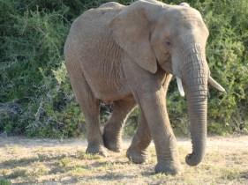 Africa elephant DSC04166