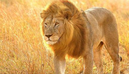 Botswana Chobe lion