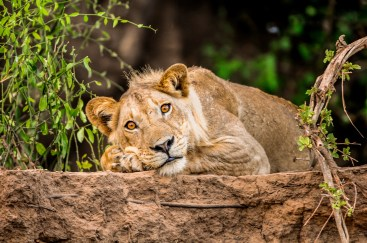 Zambezi River Lion