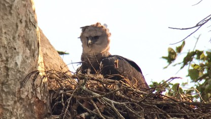 Harpy Eagle in the Amazon