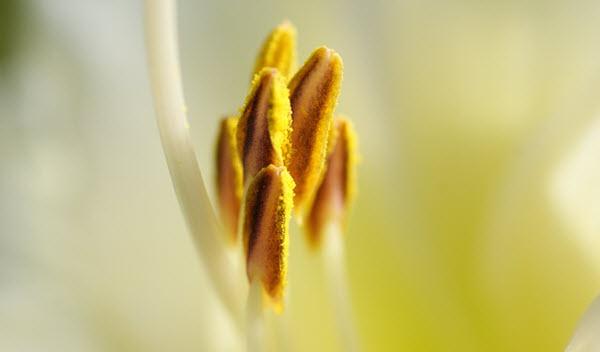 pollen de lys