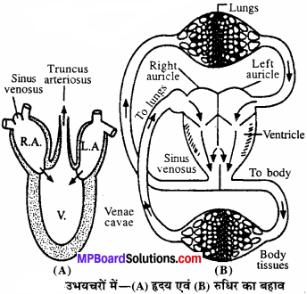 MP Board Class 11th Biology Solutions Chapter 18 शरीर द्रव तथा परिसंचरण - 5