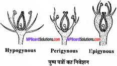 MP Board Class 11th Biology Solutions Chapter 5 पुष्पी पादपों की आकारिकी - 35