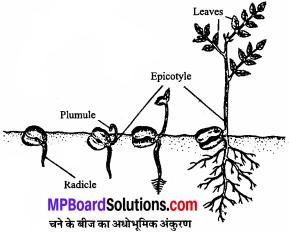 MP Board Class 11th Biology Solutions Chapter 5 पुष्पी पादपों की आकारिकी - 52