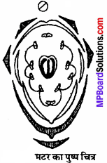MP Board Class 11th Biology Solutions Chapter 5 पुष्पी पादपों की आकारिकी - 9