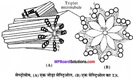 MP Board Class 11th Biology Solutions Chapter 8 कोशिका जीवन की इकाई - 8