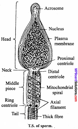 MP Board Class 12th Biology Important Questions Chapter 3 Human Reproduction 11