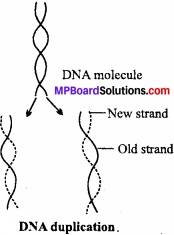MP Board Class 12th Biology Important Questions Chapter 6 Molecular Basis of Inheritance 8