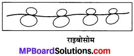 MP Board Class 9th Science Solutions Chapter 5 जीवन की मौलिक इकाई image 12