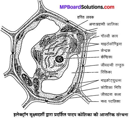 MP Board Class 9th Science Solutions Chapter 5 जीवन की मौलिक इकाई image 13