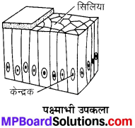 MP Board Class 9th Science Solutions Chapter 6 ऊतक image 32