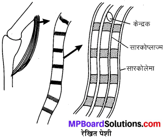 MP Board Class 9th Science Solutions Chapter 6 ऊतक image 35