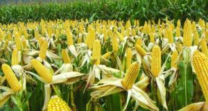 Maize crop in South Africa