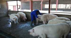 Award winning female black farmer, Khulile Mahlalela (31), who runs a piggery at Mhluzi in Middleburg, Mpumalanga, is producing pork for the nation and international market. Photo by Anna Ntabane, Mpumalanga Guardian