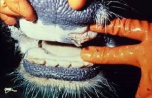 Foot and mouth outbreak in South Africa