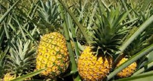Pineapple beer production in South Africa