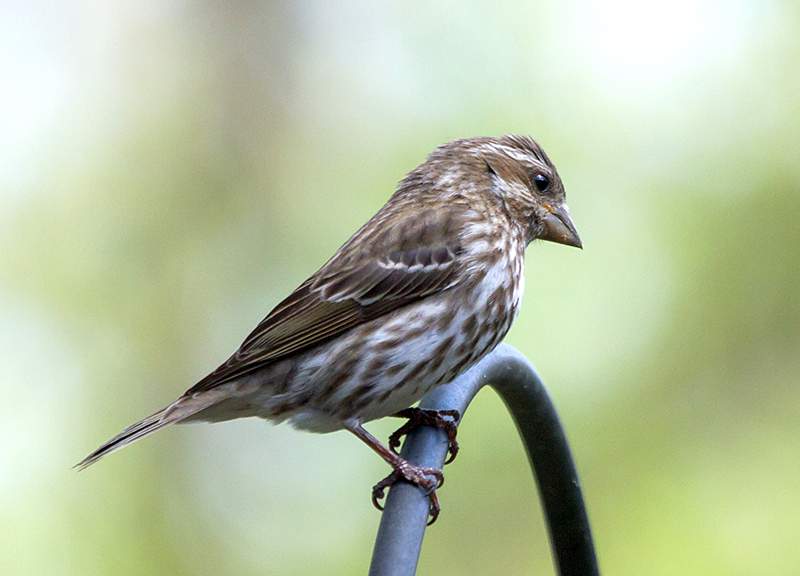 House Finch Song 10