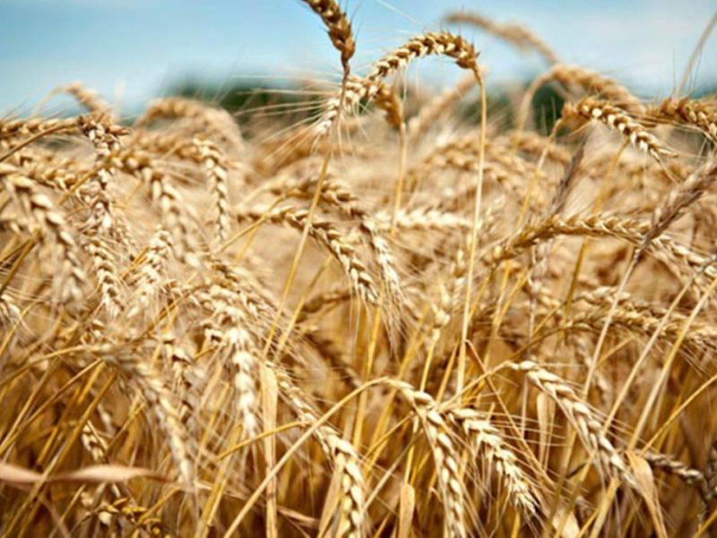 Wheat-1