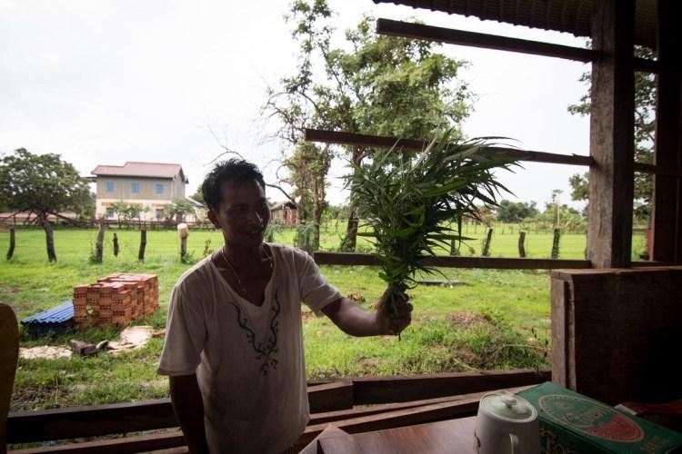 柬埔寨野生大麻