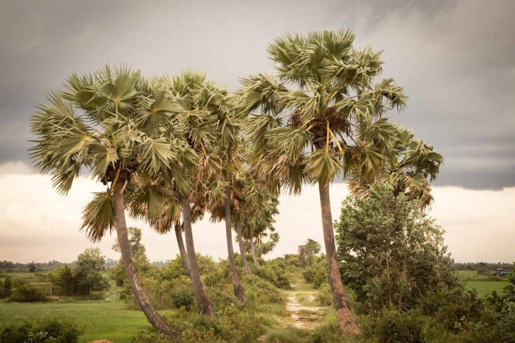 柬埔寨棕糖樹