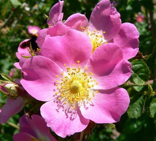 Rose Musqu 233 E Bienfaits Bienfaits Danger Posologie