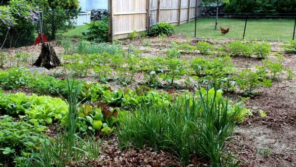 Chicken_In_Garden_CT