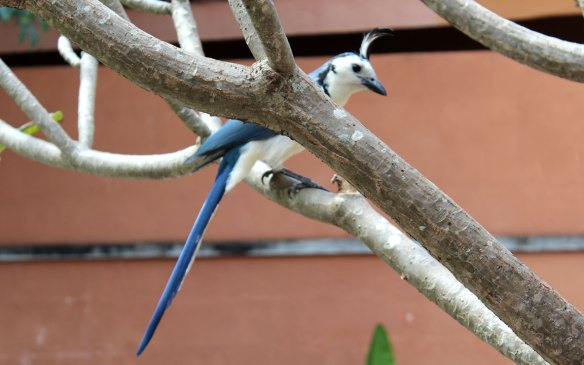 white-throated-magpie-jay-costa-rica