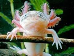 Axolotl - Axolotl, simpatico anfibo