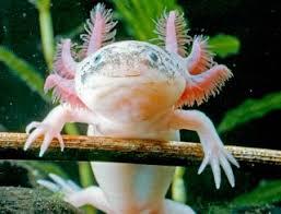 Axolotl, simpatico anfibo