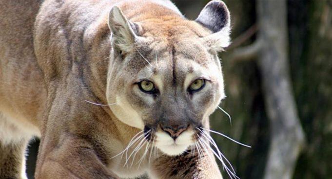 coguaro orientale pantera 681x368 1 1 - Puma o Pantera orientale, estinto