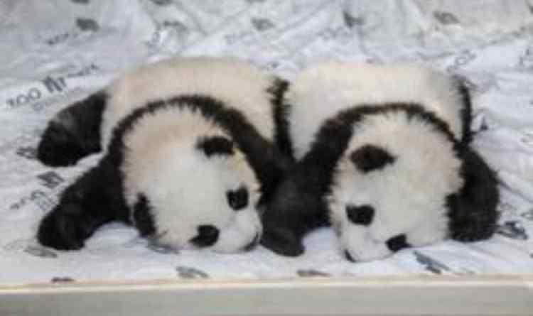 Panda gemelli a Berlino