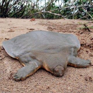 tartaruga gigante guscio molle