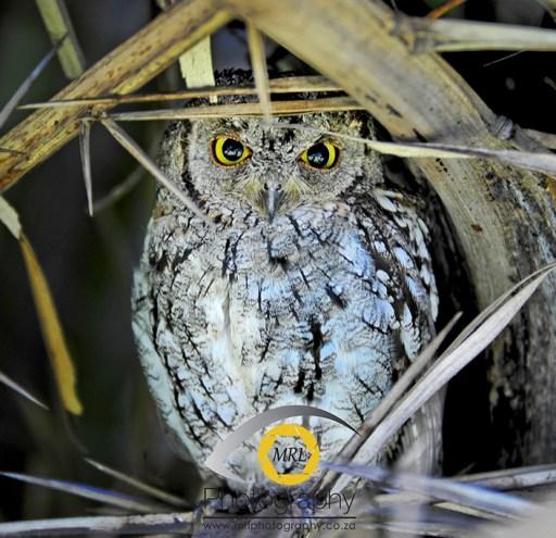 African Skops-owl