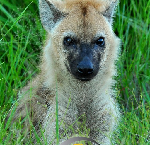 Adolescent Spotted Hyena