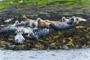 Grey seals of Outer Farne Islands