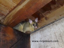 Young Possum removal
