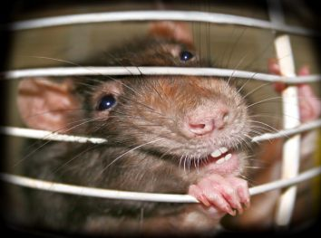 get rid of rats and rodents