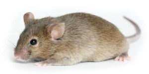 live-mouse